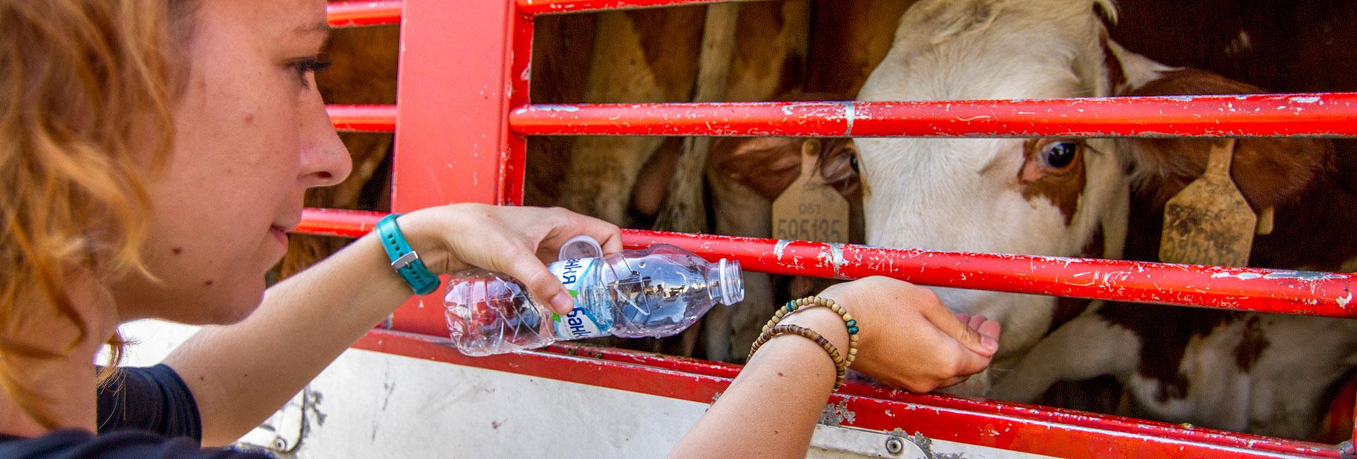 Animals' Angels Mitarbeiterin Sophie gibt einem Rind in einem Tiertransport Wasser