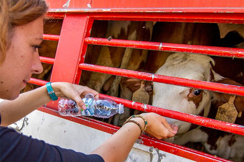 Sophie von Animals' Angels tränkt ein junges Rind an Bord eines Tiertransporters
