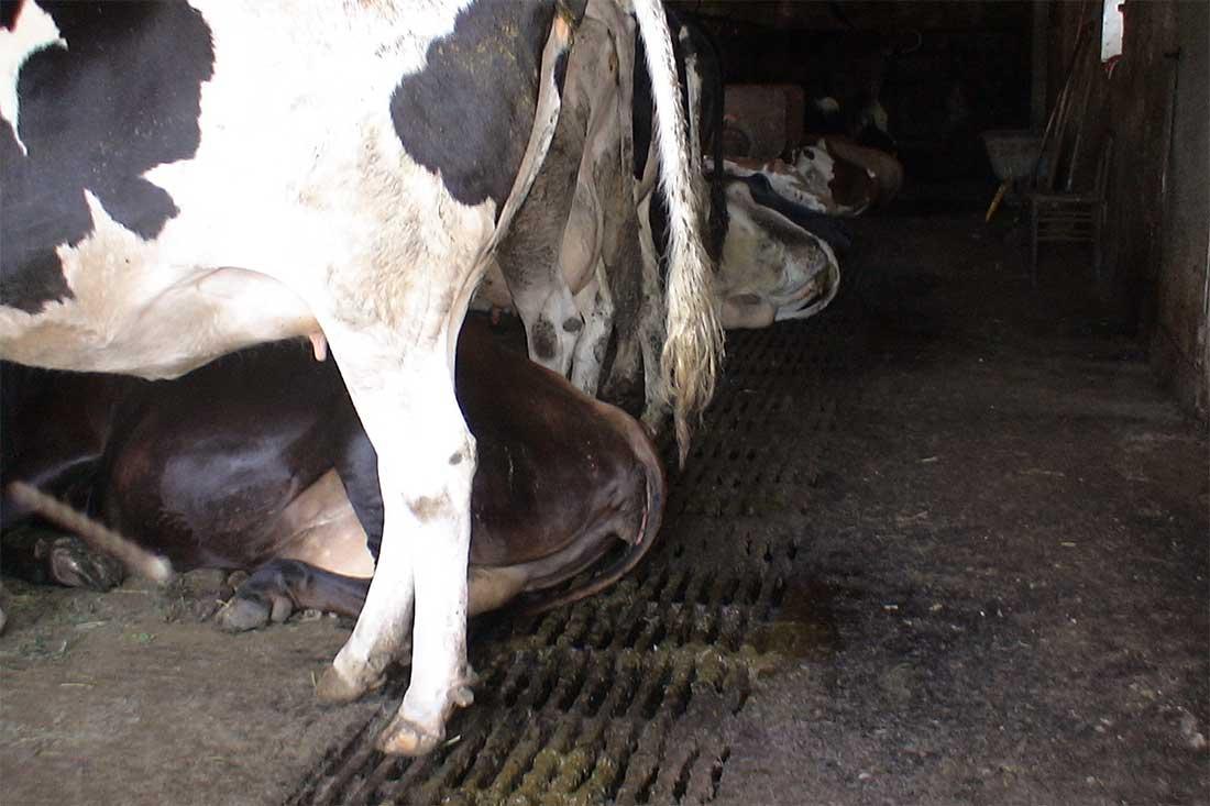 Anbindehaltung in Deutschland: Kühe stehen auf Gitterrost