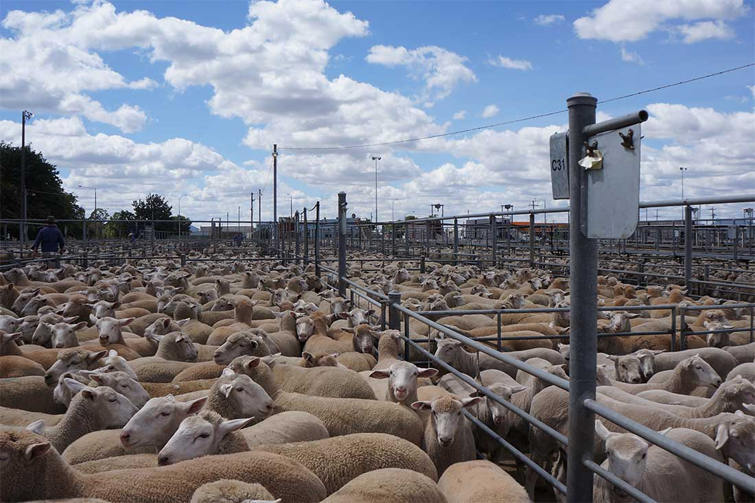 Saleyard in Australien: Tausende Schafe stehen zum Verkauf
