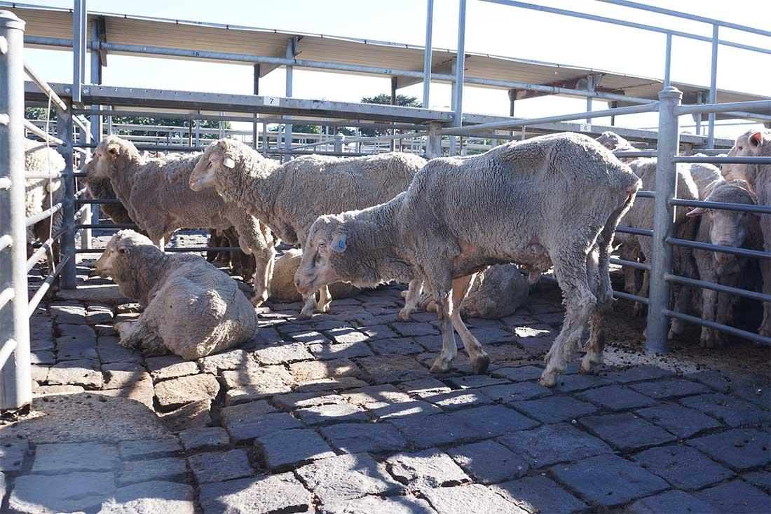 Verletzte Schafe in einem Pferch auf einem Saleyard in Australien