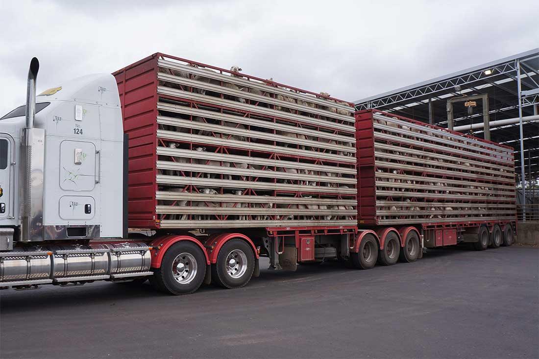 Tiertransport Schafe Australien: Ein riesieger Lkw lädt Schafe an einem Saleyard aus