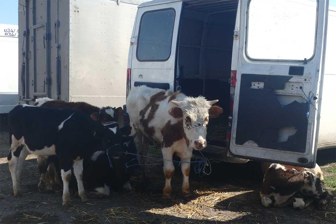 Tiermarkt in Bulgarien: Tiere stehen vor dem Fahrzeug zum Verkauf