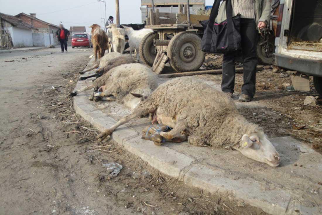 Tiermarkt in Bulgarien: Schafe liegen mit verknoteten Beinen auf dem staubigen Boden