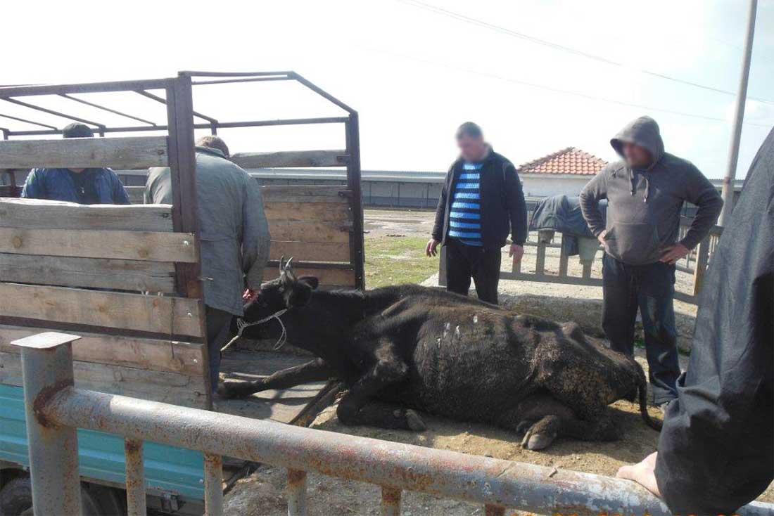 Tiermarkt in Bulgarien: Eine schwache Kuh liegt vor einem Transporter und kann nicht mehr aufstehen