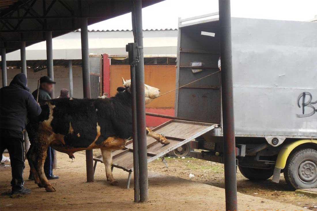 Tiermarkt in Bulgarien: Eine Kuh wird über eine viel zu steile Rampe in einen Transporter getrieben