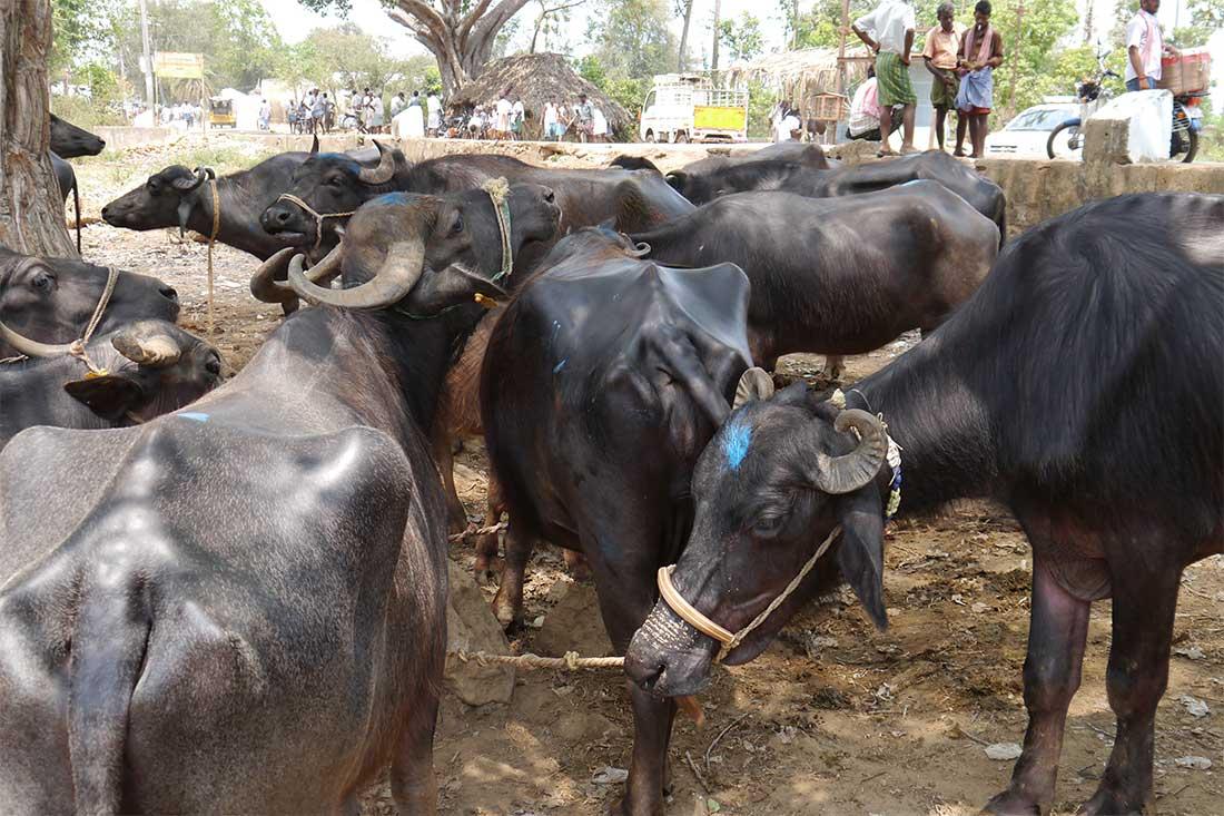 Rinder auf einem Tiermarkt in Indien