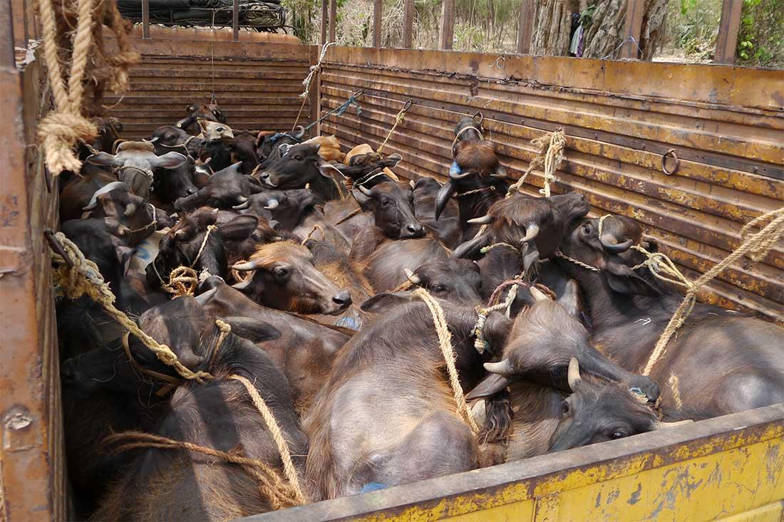 Tiertransport mit Rindern in Indien: Total überfüllt.