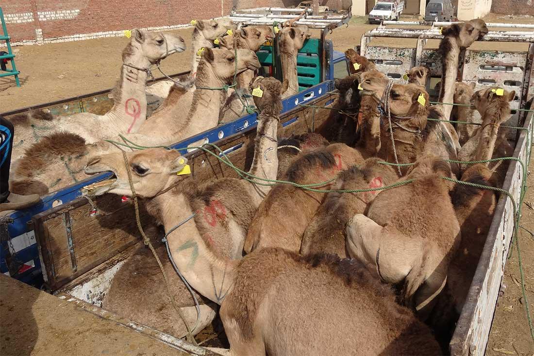 Ein völlig überladener Lkw mit Kamelen