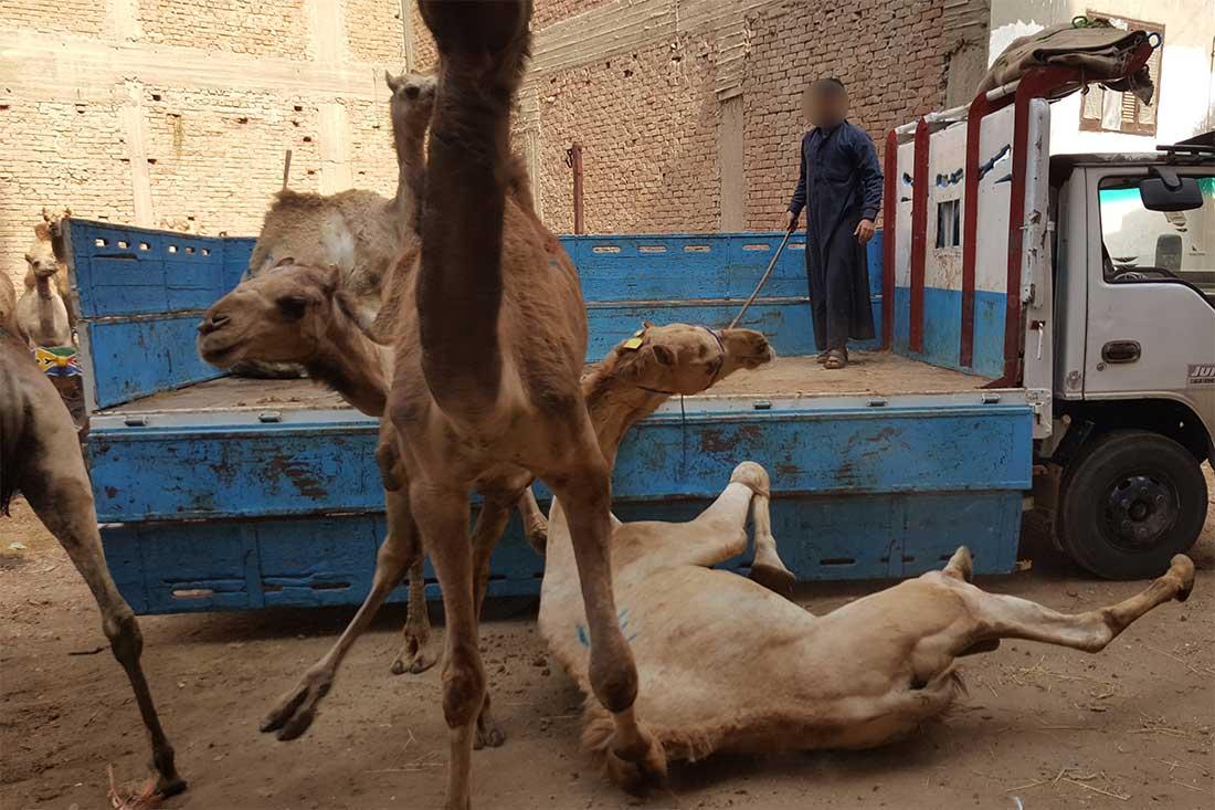 Ein Kamel stürzt bei der Entladung vom Transporter