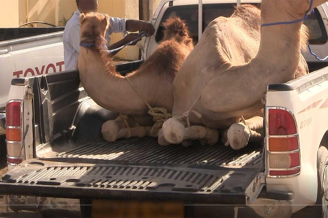 Kamele mit verschnürten Beinen auf einem Pick-up-Truck
