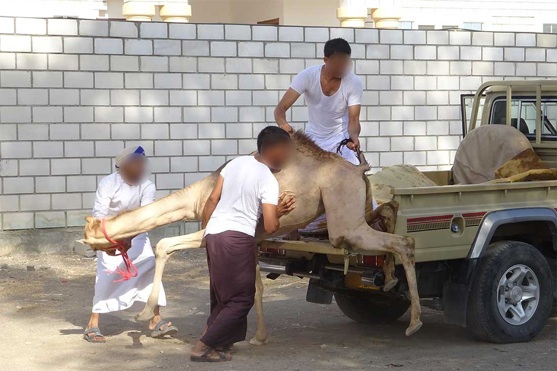 Ein Kamel wird brutal auf ein Fahrzeug ohne Rampe geboben