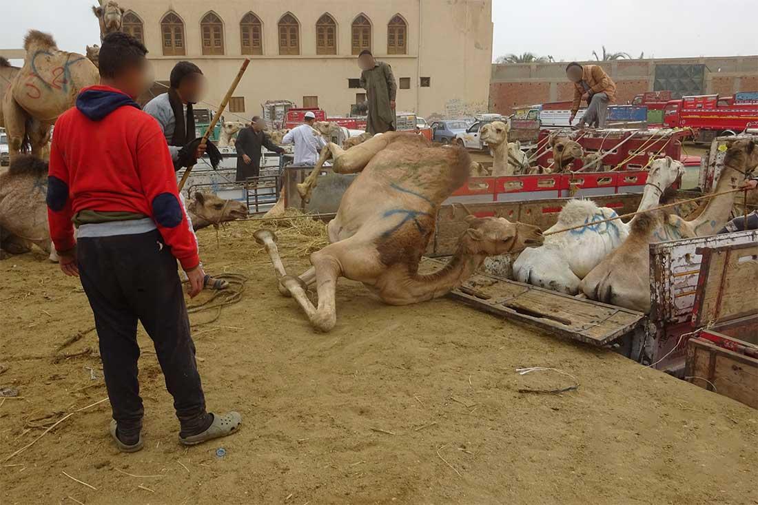 Ein Kamel wird brutal auf einen Transporter gezogen
