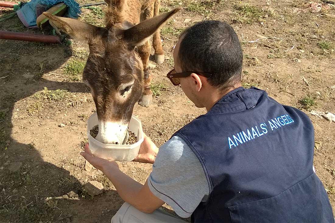 Animals' Angels versorgt einen Esel mit Essen auf einem Tiermarkt in Marokko