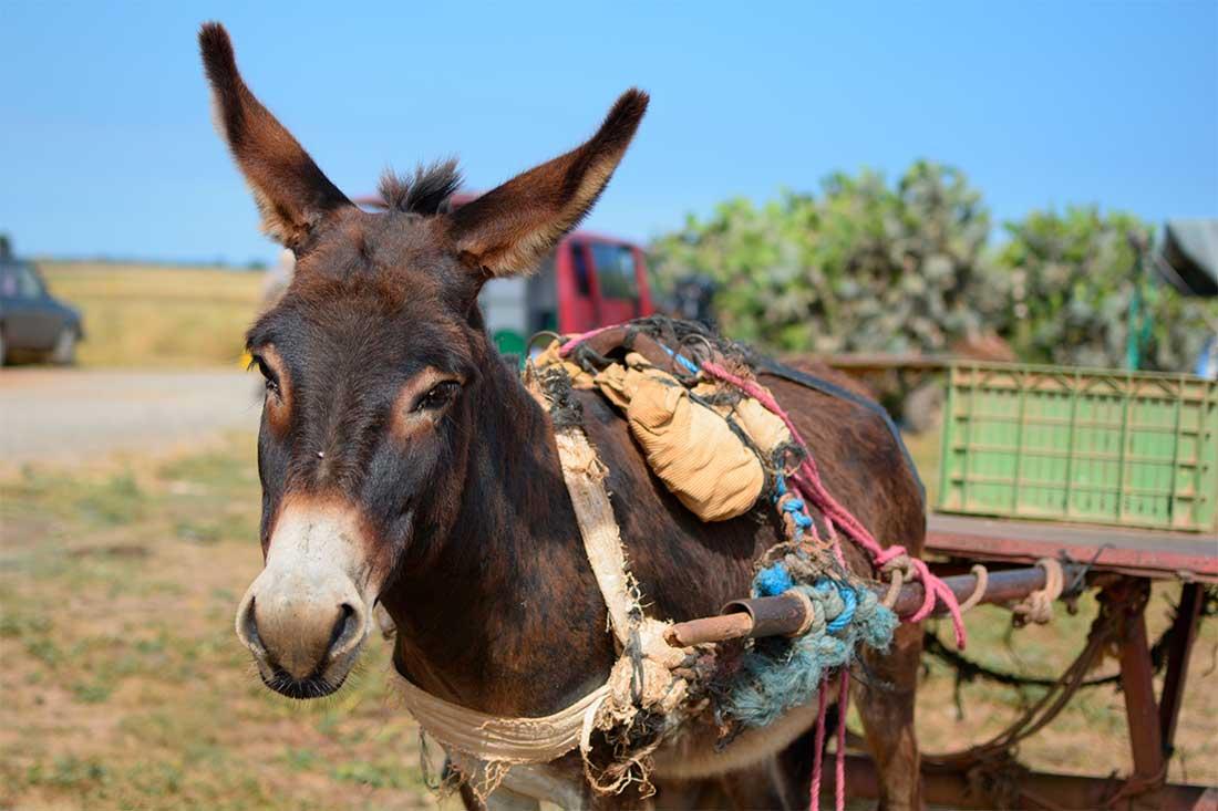 Tiermarkte in Marokko: Ein Esel steht mit schweren Geschirr an einen Karren angespannt in der Sonne