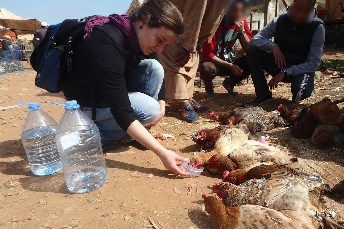 Helena von Animals' Angels gibt den durstigen Hühner auf einem Tiermarkt in Marokko Wasser