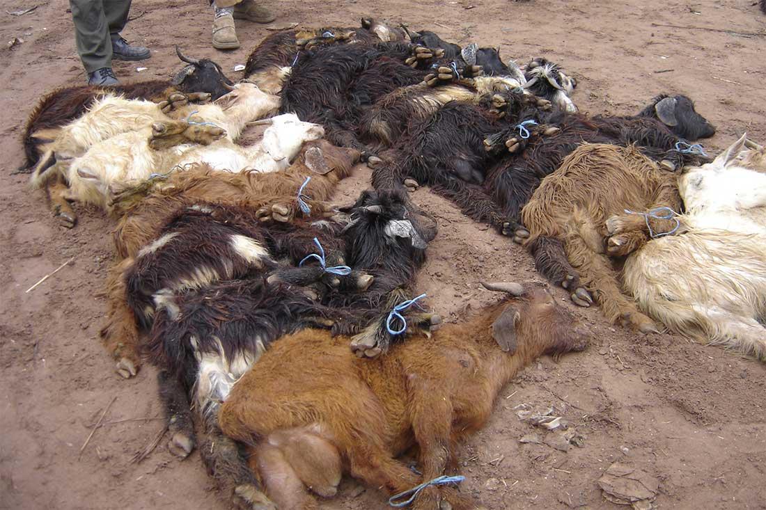 Tiermarkt in Marokko: Schafe mit zusammengebundenen Beinen liegen im Staub