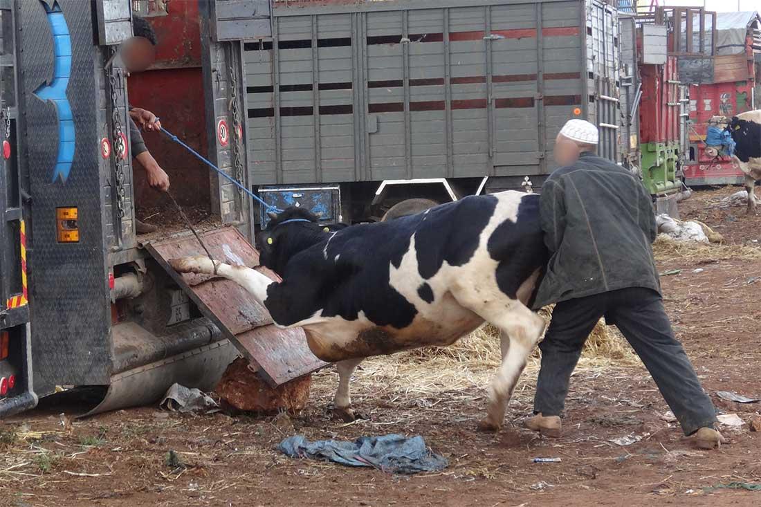 Tiermarkt in Marokko: Eine Kuh wird über eine viel zu steile Rampe in ein Fahrzeug geschoben
