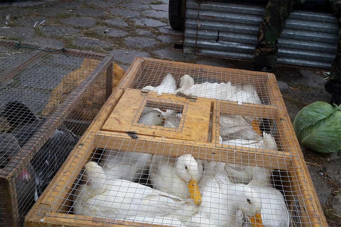Tiermarkt in Polen: Gänse in viel zu kleinen Käfigen