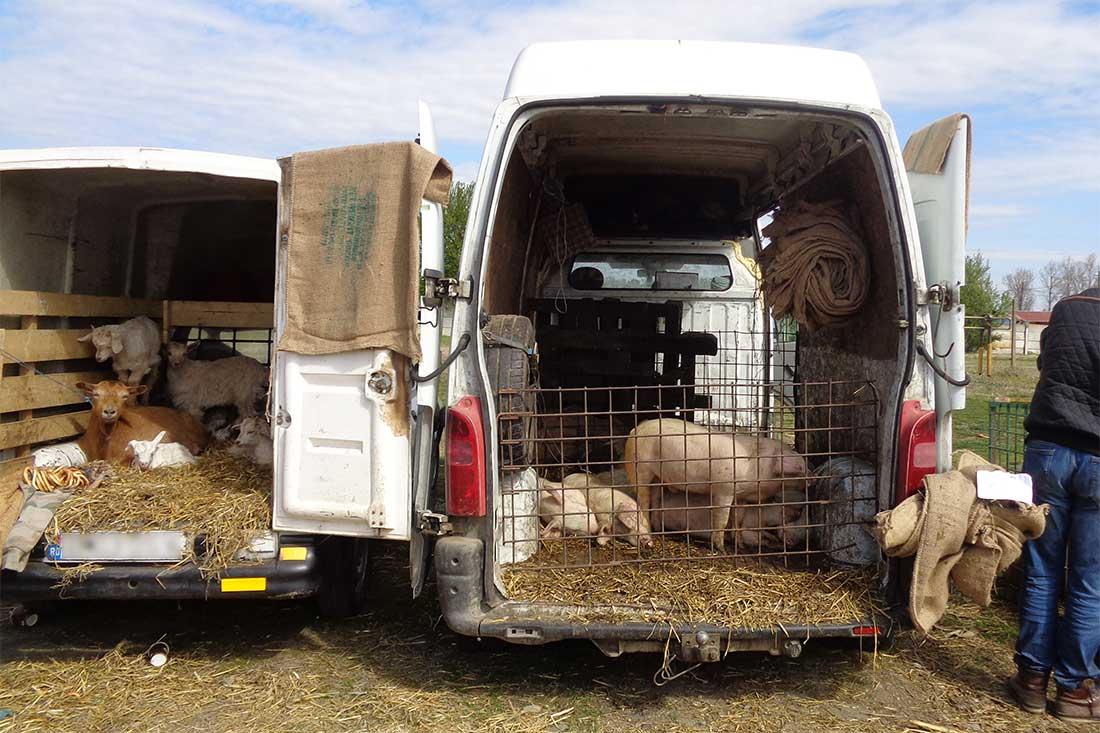 Tiermarkt in Rumänien: Tiere werden aus den Fahrzeugen heraus verkauft