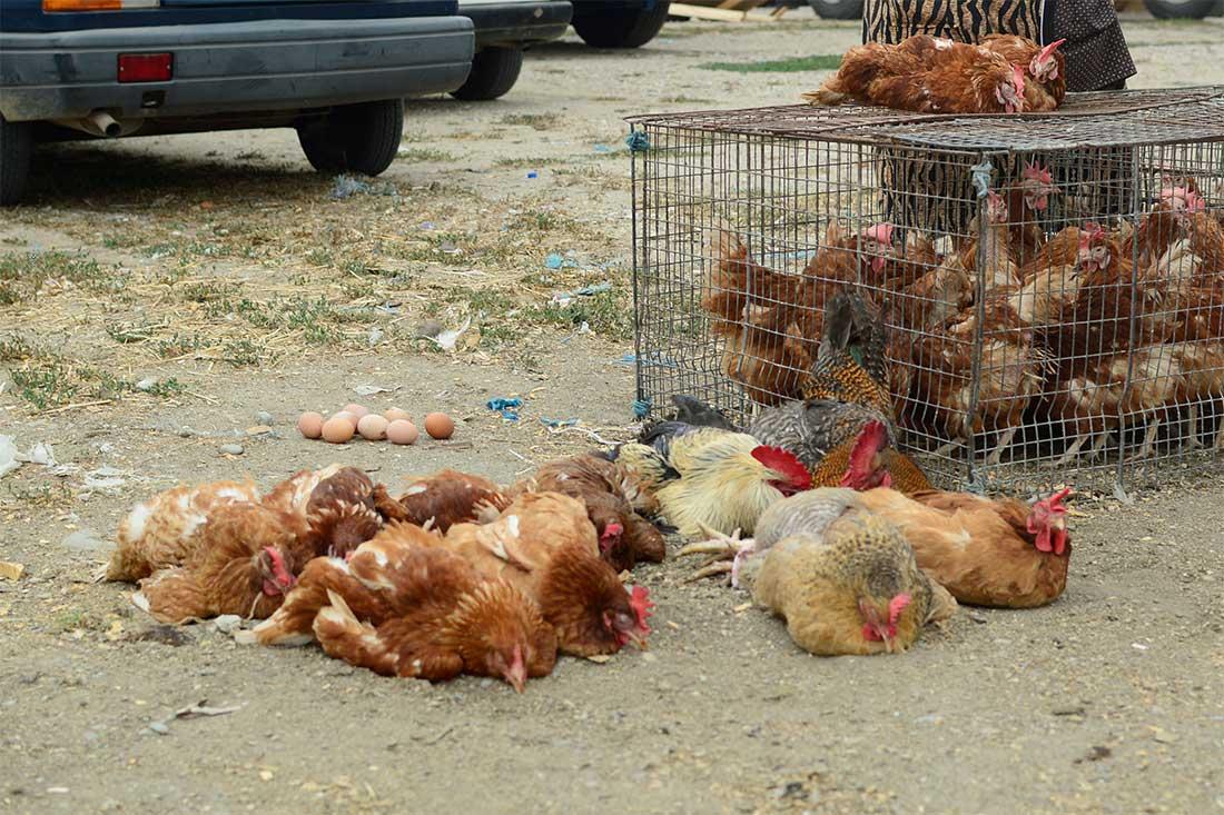Tiermarkt in Rumänien: Hühner in kleinen Käfigen oder mit zusammengeknoteten Beinen auf dem Boden liegend