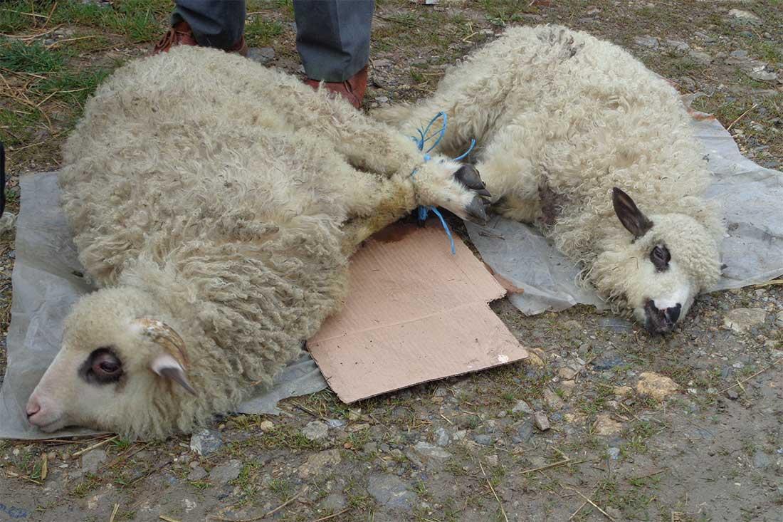Tiermarkt in Rumänien: Schafe liegen mit zusammengebundenen Beinen auf dem staubigen Boden