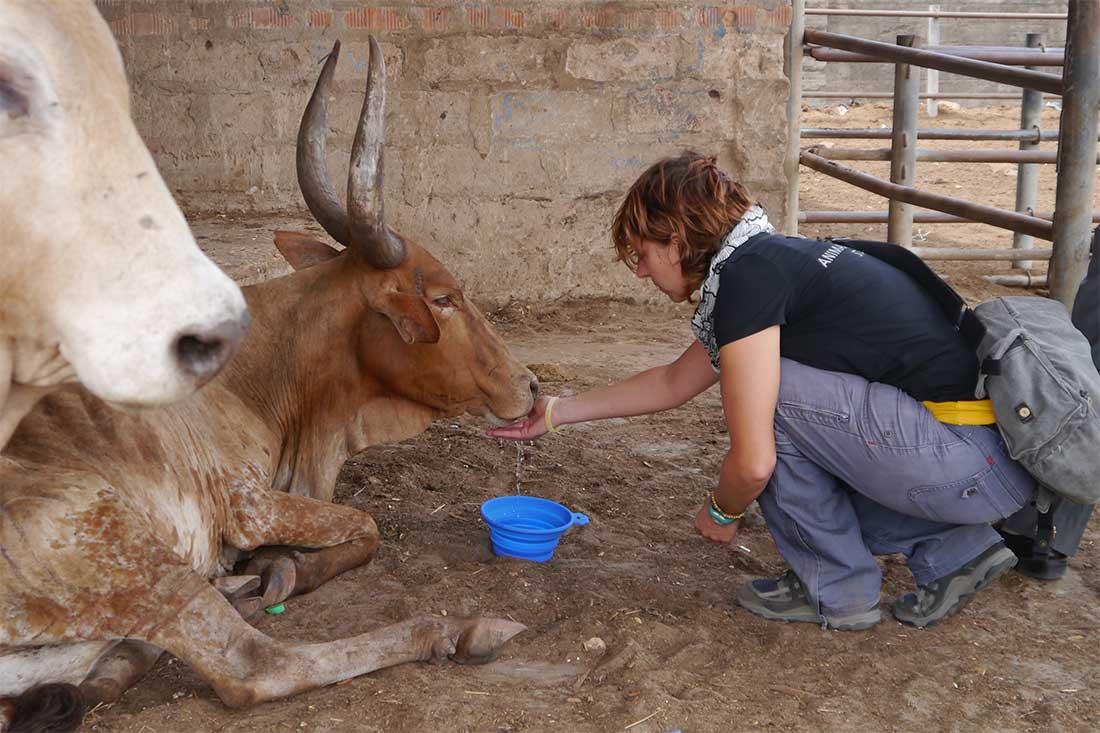 Tiermarkt in Tansania: Bulle Abraham ist vor Erschöpfung zusammengebrochen