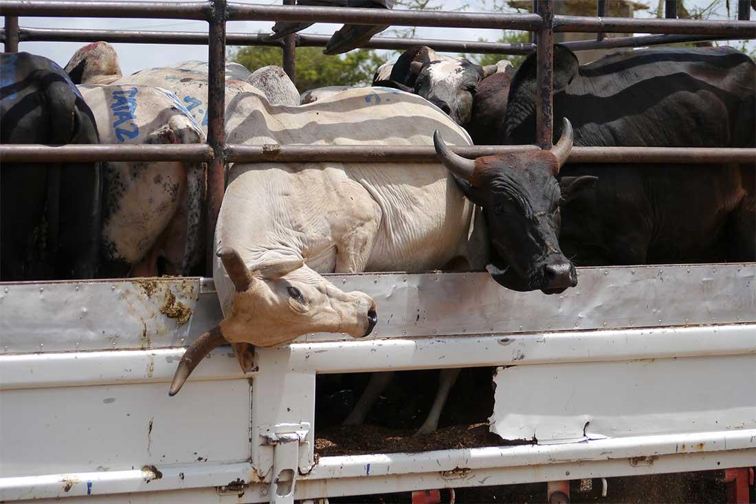 Tiertransport in Tansania: Rinder auf überladenem Lkw.