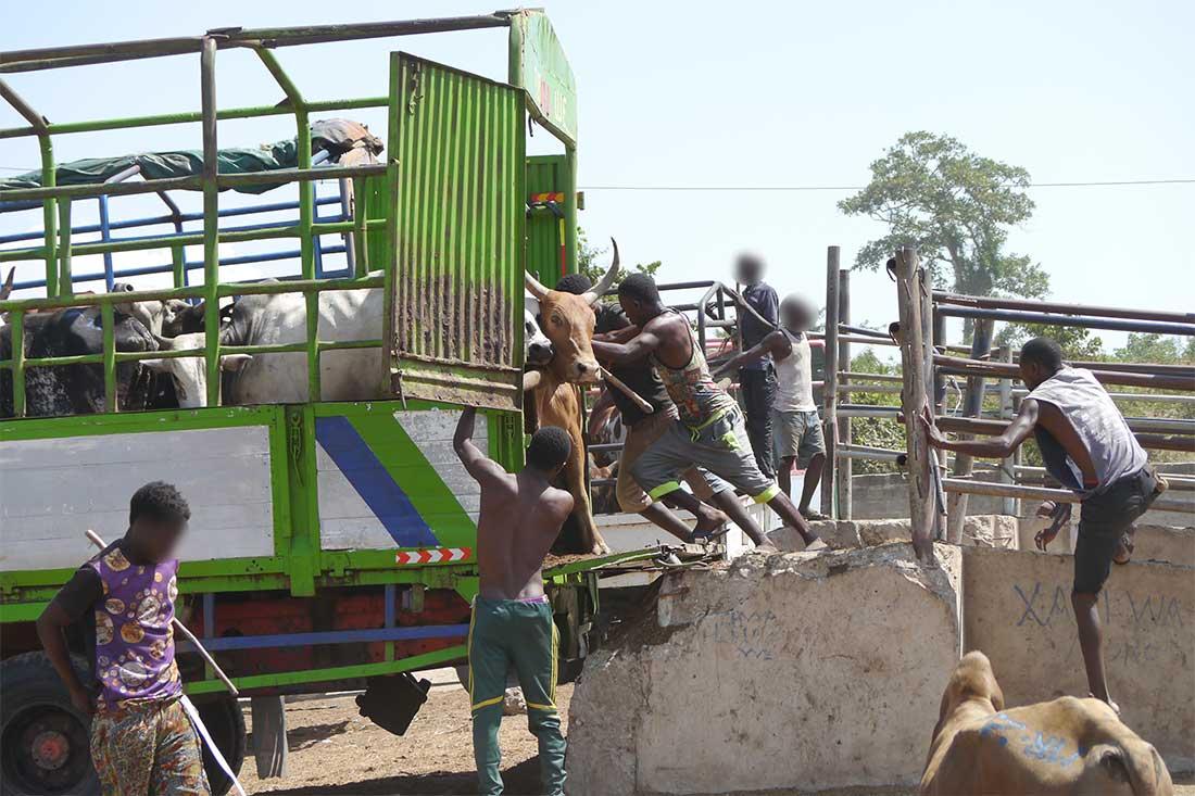 Tiermarkt in Tansania: Männer verladen Rinder unter Gewaltanwendung in einen Transporter