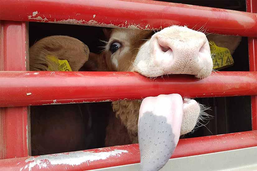 Ein nicht-entwöhtnes Kalb in einem Tiertransport beißt in die Seitenstangen
