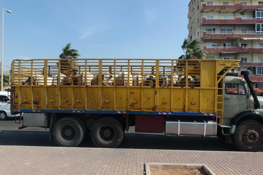 Tiertransporte im Libanon: Rinder aus Europa werden auf einem offenen Fahrzeug transportiert und sind der Sonne ausgeliefert