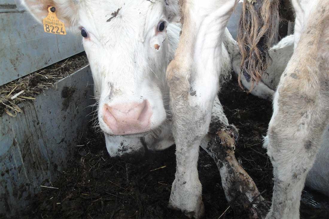 Tiertransport aus Frankreich in die Türkei: Rind mit offener Verletzung am Bein
