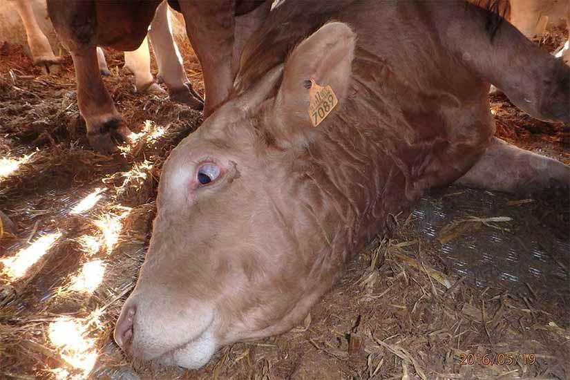 Tiertransport in der EU: Ein Rind liegt erschöpft am Boden
