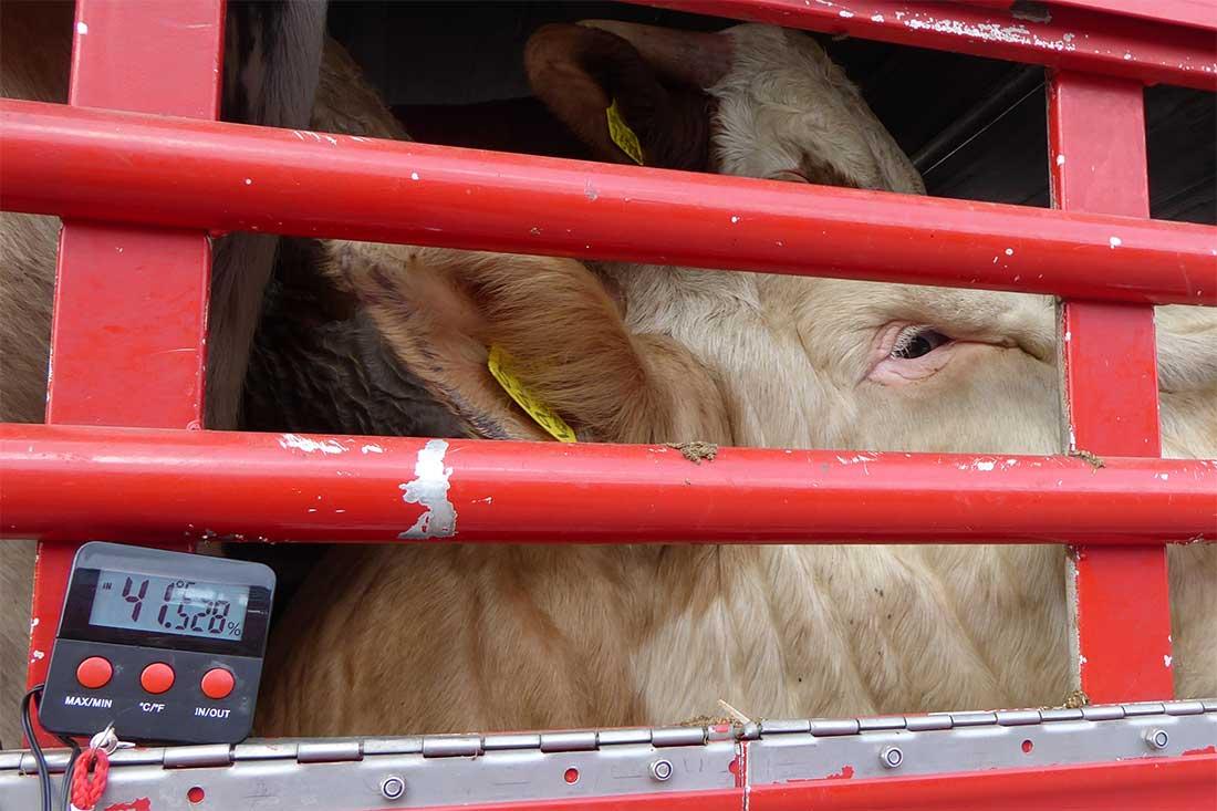 Tiertransporte in die Türkei: Temperaturen von über 40 °C machen den Tieren im Lkw zu schaffen