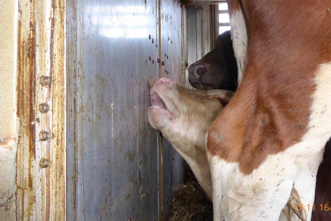 Tiertransporte in die Türkei: Ein Rind im Lkw leidet unter der Sommerhitze