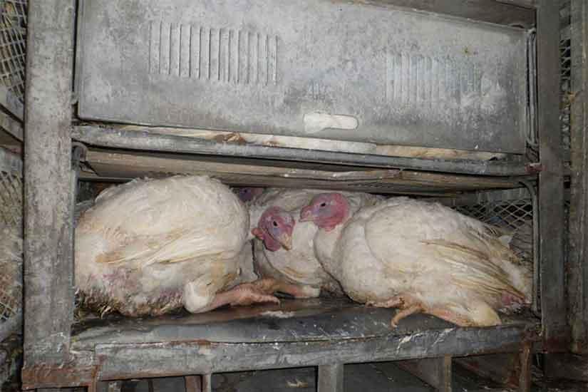 Puten auf einem Tiertransport: Die Kisten sind zu niedrig und die Tiere stehen gebückt