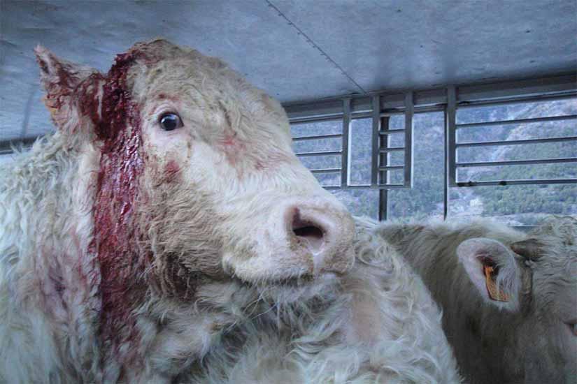 Tiertransport in der EU: Rind mit abgebrochenem Horn und blutender Wunde
