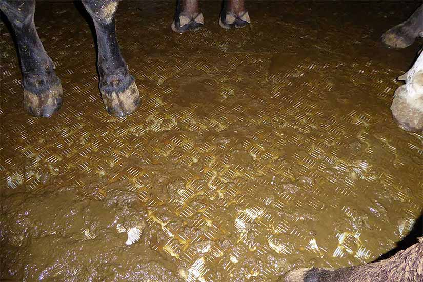 Tiertransporter mit fehlender Einstreu. Der Boden ist bedeckt mit Kot und Urin