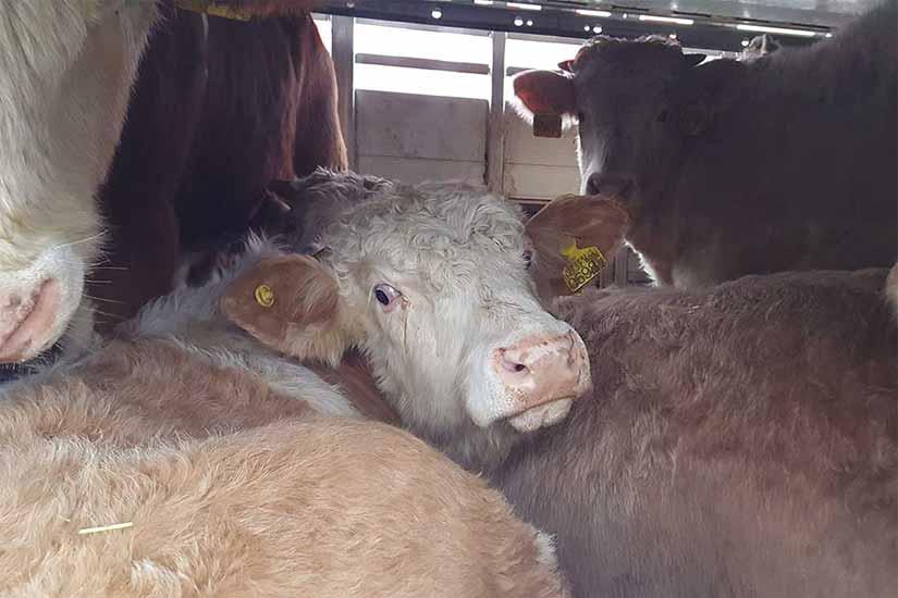 Tiertransport mit Rindern: Zu viele Tiere an Bord