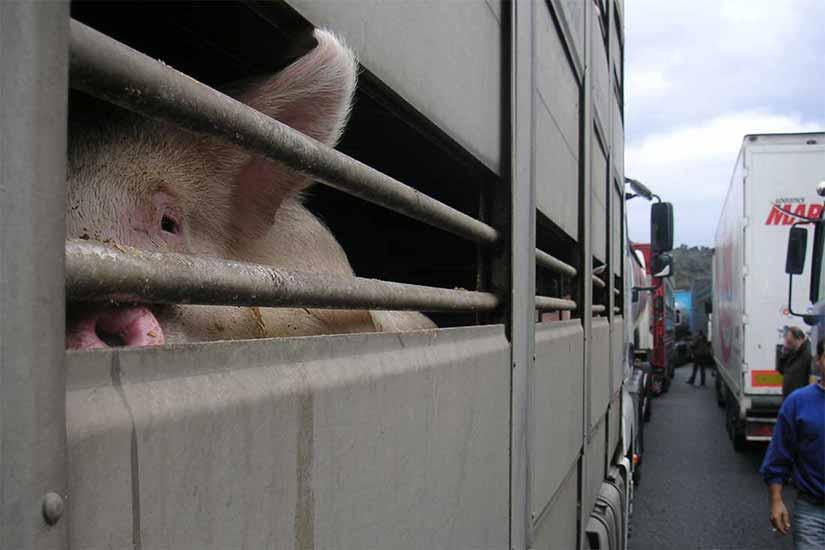 Tiertransport im Stau: Ein Schwein schaut durch die Seitenstangen