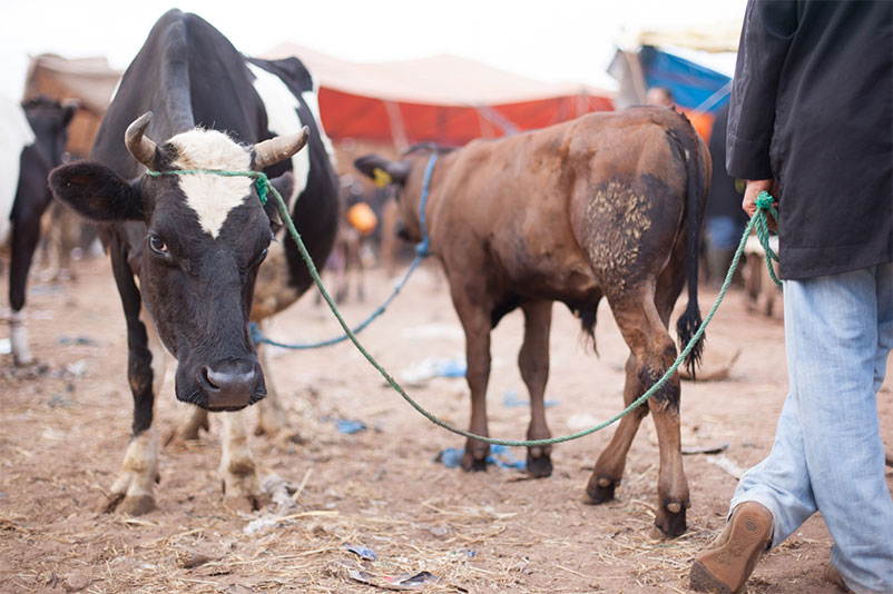 Cattle and Traders at Animal Market in Morocco