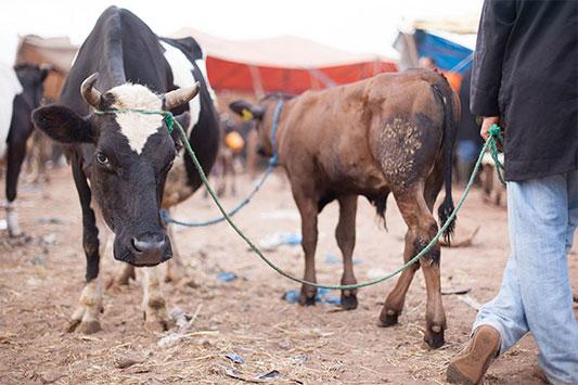 Tiermarkt: Kuh mit Händler