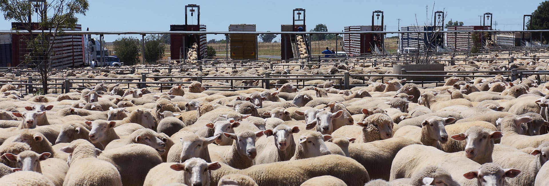 Thousands of Sheep at Saleyard in Australia