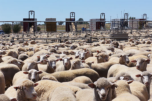 Hundreds of Sheep at a Saleyard in Australia