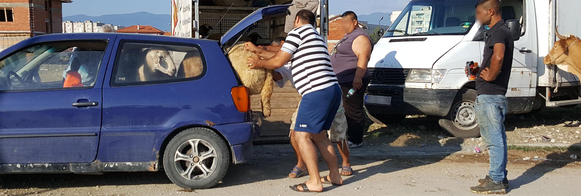 Tiermarkt in Bulgarien: Männer verladen ein Schaf in den Kofferraum eines Pkw