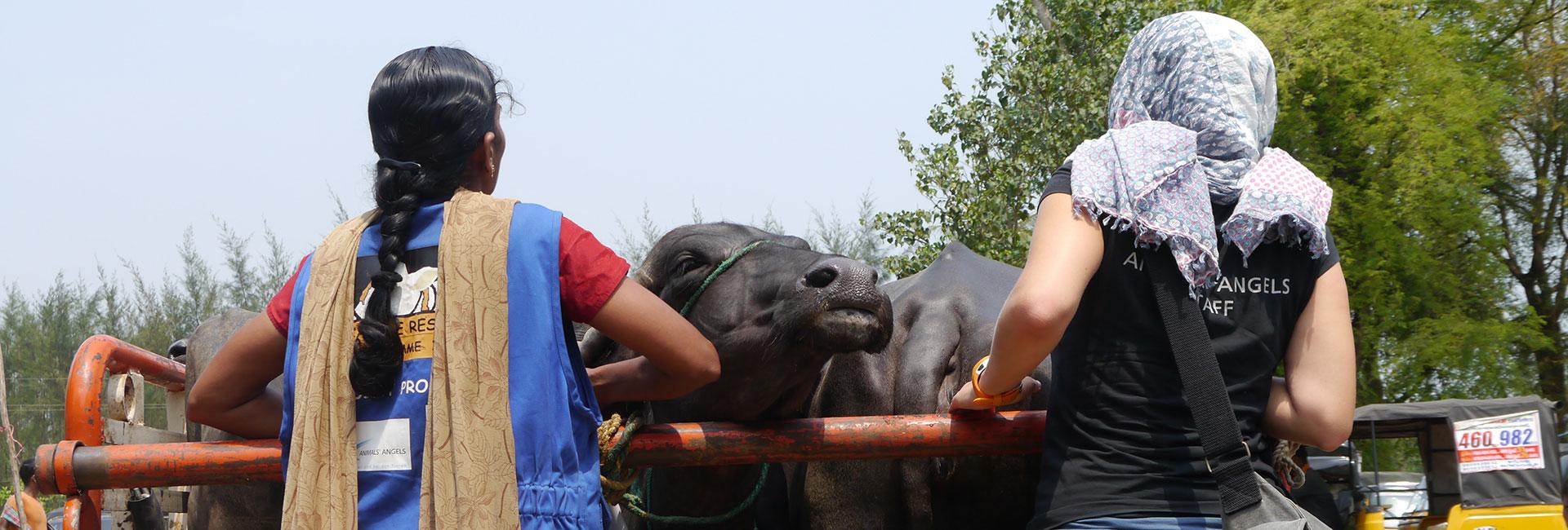 Sophie von Animals' Angels und Sri Devi von der VSPCA kontrollieren einen Tiertransport mit Rindern in Indien