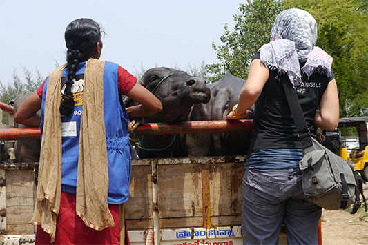 Animals' Angels Inspecting Animal Transports at a Market in India