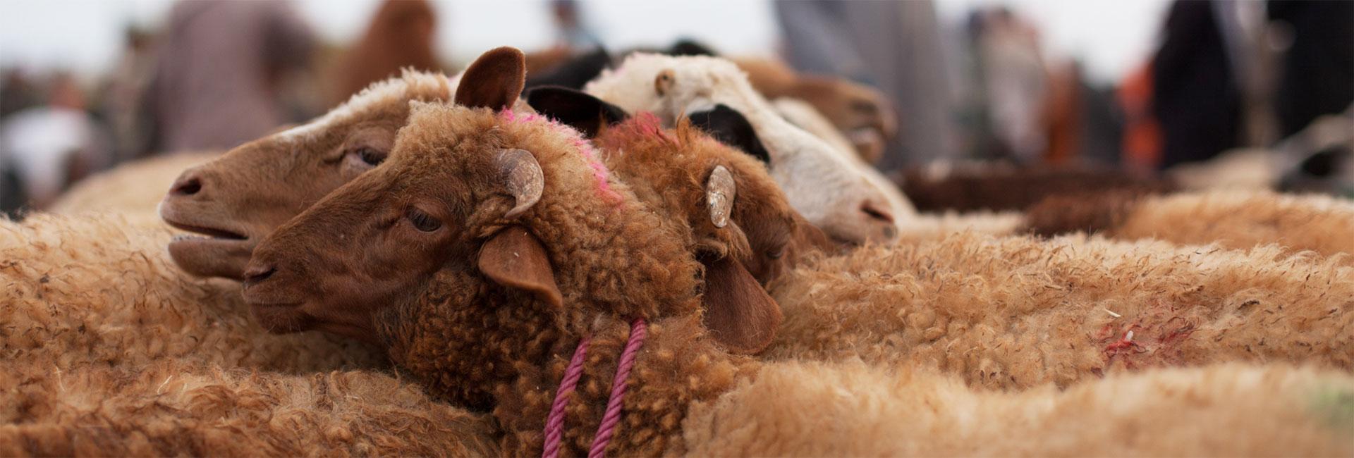 Tiermarkt in Marokko: Aneinandergebundene Schafe