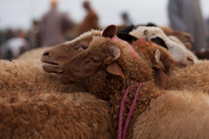 Tiermarkt in Marokko: Schafe mit zusammengebundenen Hälsen