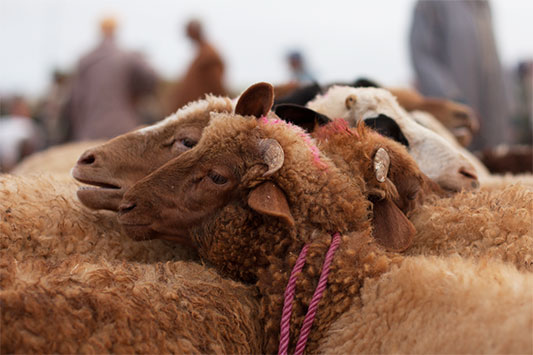 Animal Market in Morocco: Sheep are Tied Togehter at Their Necks